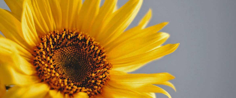 Coaching - Selbst-Stärkung - Sonnenblume - Symbol
